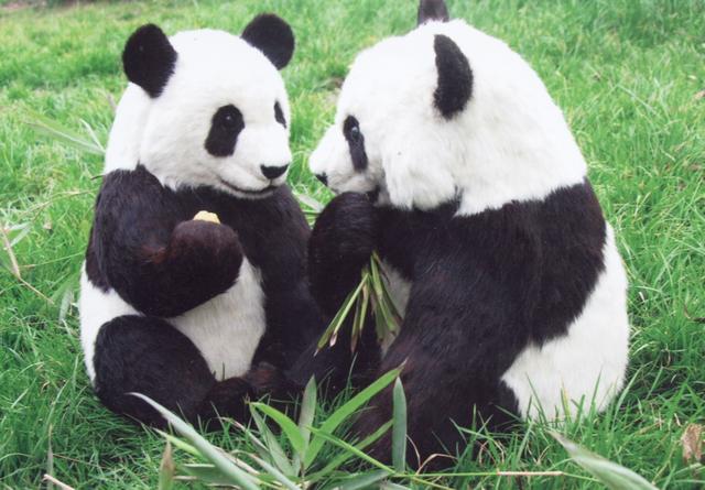 壁纸 大熊猫 动物 640_445