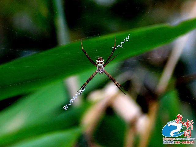 琵琶湖蜘蛛好神奇 腹部酷似京剧脸谱还会写英语