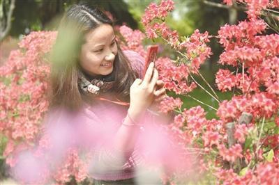 """南京国防园10万株杜鹃花盛开 """"花王""""有""""花后""""相伴"""