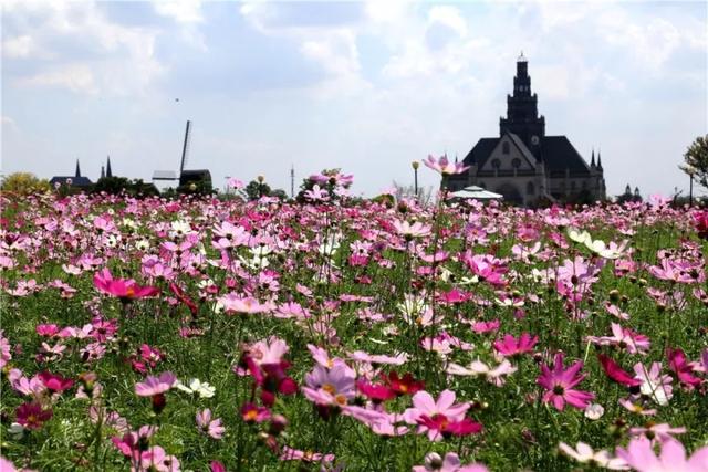 2017荷兰花海百合花文化月盛大开幕