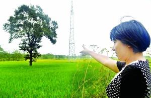 淮安盱眙为保护百年古树 耗资10万改光伏电缆路线