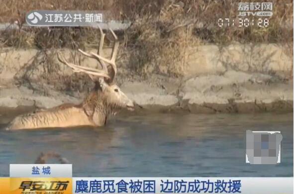 麋鹿觅食被困河塘 盐城边防民警成功将其救上