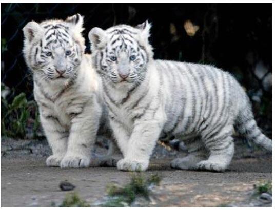 常州动物园回应后备箱装白虎 送厦门治疗忘办手续_大苏网_腾讯网