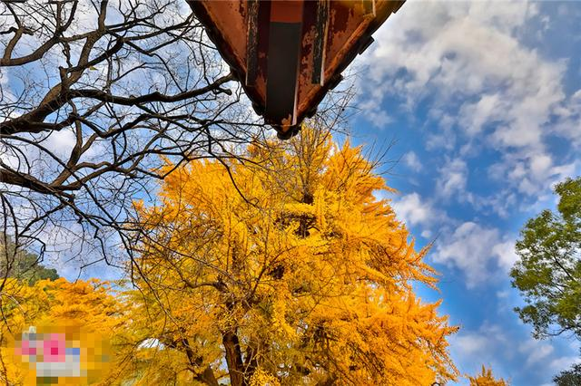 唤醒沉睡千年的金色精灵--沂水灵泉寺银杏树