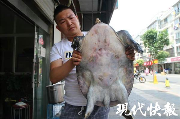 罕见!盐城一市民河边捡到大甲鱼 1米长24斤重