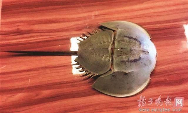 南京一市民路边发现国家二级保护动物中华鲎