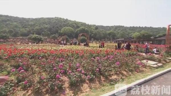 无锡龙寺生态园70亩月季盛装迎客 花期持续到11月份