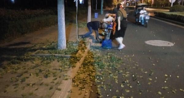 淮安夜晚多人偷采白果 白果景观树残遭洗劫