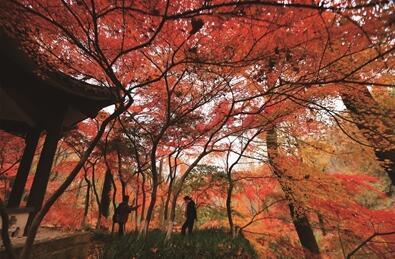 栖霞山红叶将进入最佳观赏期 景区提醒游客文明游园