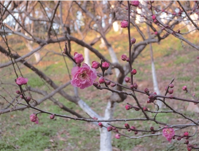 南京古林公园鸟语花香太平鸟做客 梅花提前开