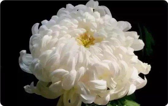 畅游开封菊展盛宴 领略天下菊之韵味