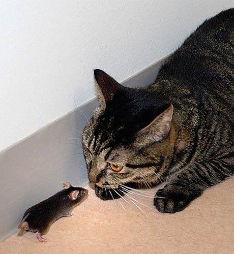 嗅觉切断 老鼠爱上猫