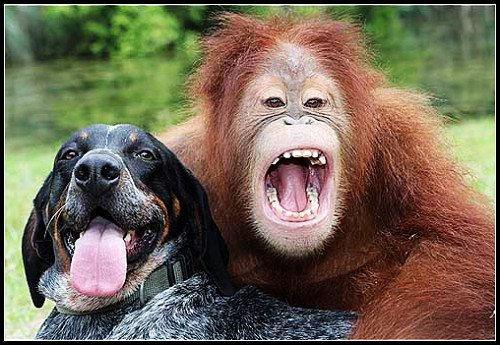 组图:情投意合好伙伴 大猩猩和小狗的友谊