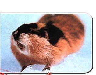 """旅鼠的""""死亡大迁移""""之谜"""
