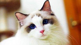 甜美软萌的布偶猫久妹