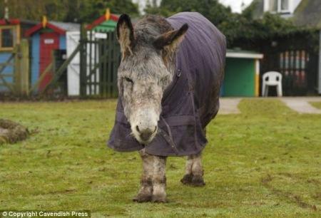 英国54岁毛驴可能成世界最老驴子(图)