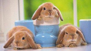 """这只垂耳兔一用力耳朵就会飞走,""""哎呀,我的耳朵呢"""" 主人看不下去了偶尔也会帮忙把耳朵掰正,简直萌翻啦"""
