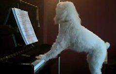 会识谱弹琴歌唱的汪星人