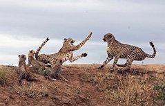 组图:母豹为护幼崽与敌人搏斗