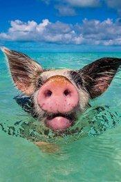 一群成天游泳的巴哈马猪
