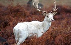 极罕见白鹿现身伦敦公园 恍如童话精灵