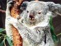 考拉(树袋熊)