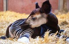 罕见??狓宝宝德国诞生 外形呆萌据说是长颈鹿近亲