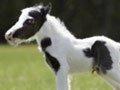 组图:世界最小的马儿 袖珍宝贝超萌
