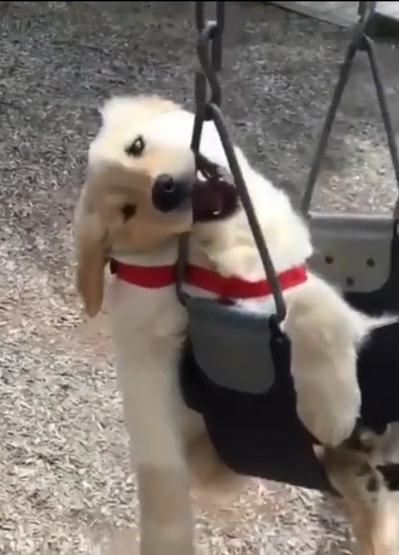 金毛狗狗生气了竟然这么赖皮!
