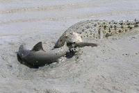 鲨鱼泥潭遭鳄鱼猎杀