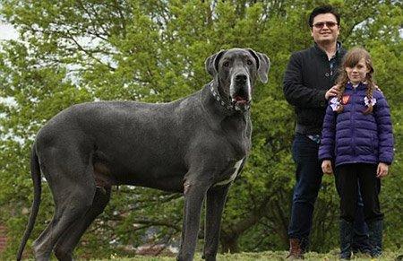 英国最大犬身长2米高1米与小象同重