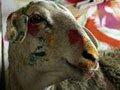 会画画的绵羊