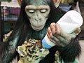 组图:猩猩母性大发 熟练用奶瓶喂虎仔奶