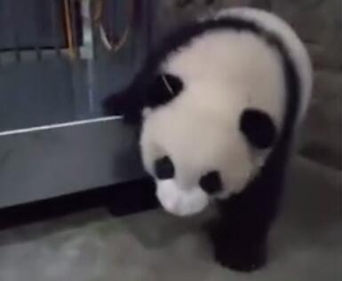熊猫:明明是想发脾气打人,却变成了卖萌,我生起气来连自己都摔