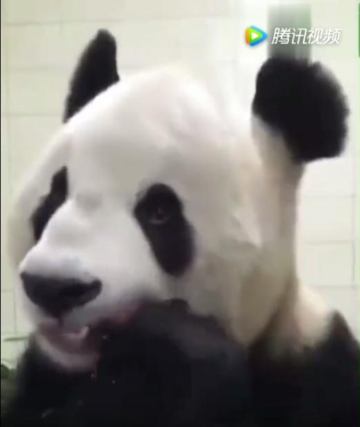 我竟然花了整整一分钟盯着熊猫吃胡萝卜,这个嘎嘣脆啊