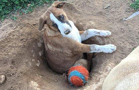 笑疯了!10个月大小狗被困在自己挖的洞中 呆萌表情成网红