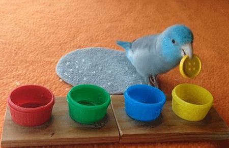 确定这是鸟类的大脑? 聪明鹦鹉按颜色分类纽扣