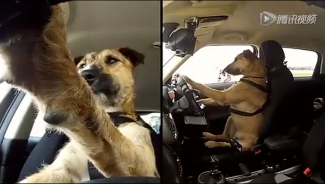 史上第一只会开车的狗狗!!!