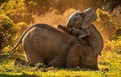 摄影师拍两头非洲象嬉戏玩耍 趴在一起相当亲密有爱
