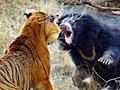 组图:老虎遇上黑熊 母熊为护幼崽疯狂击退老虎