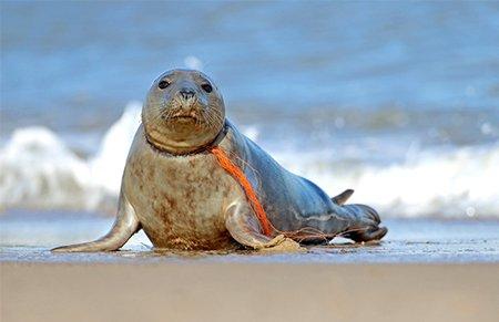 海滩心酸一幕:小海豹遭渔网绕脖痛苦不堪