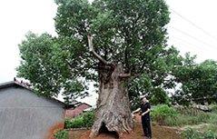 """古樟肚里长新树 形成""""树中树""""奇观"""