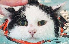 组图:英国一肥猫通过游泳减肥萌翻网友