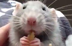 小灰鼠吃意大利面