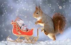 小松鼠也过圣诞节!瑞典摄影师拍松鼠圣诞萌照