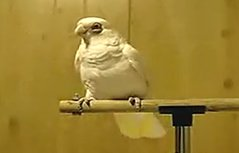 """鸟类中的""""迈克尔杰克逊""""鹦鹉跳个大空舞"""