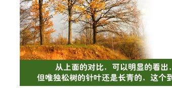松树叶真的长青不落吗?