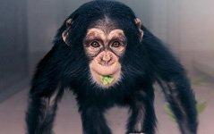 组图:摄影师拍下被人工饲养的小猩猩,楚楚可怜惹人爱
