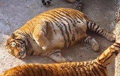 组图:老虎胖成气球 瘫在地上不想动
