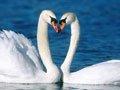 美丽的天鹅